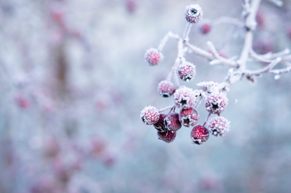 frost covered branches with red buds